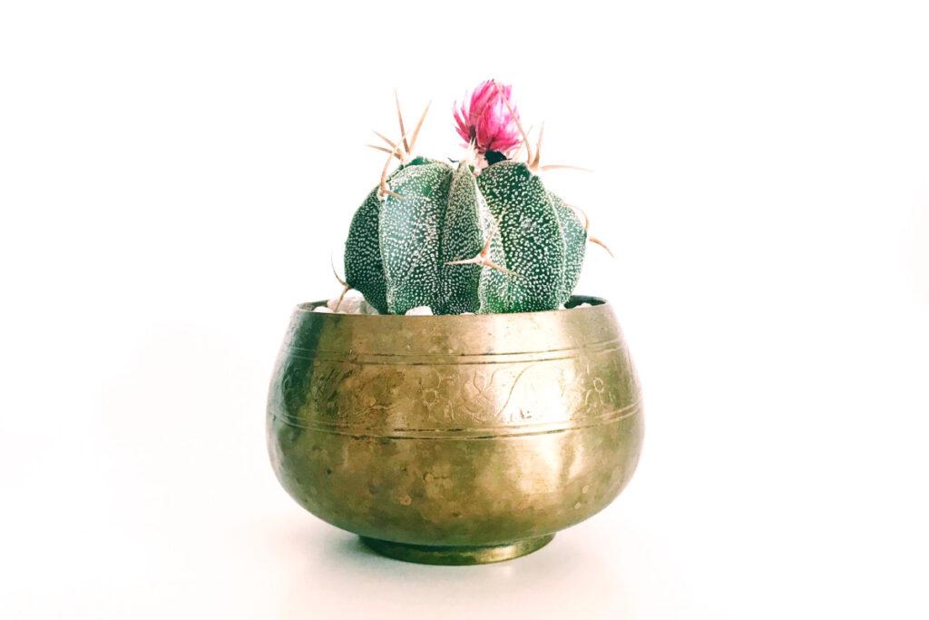 Cómo limpiar latón como esta maceta sosteniendo un pequeño cactus navideño en flor