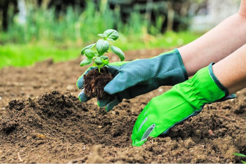 Mujer con guantes mientras planta una plántula de albahaca en suelo preparado
