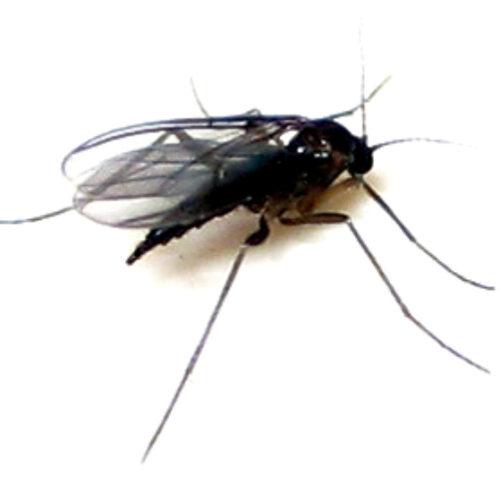 Receta de trampa para mosquitos