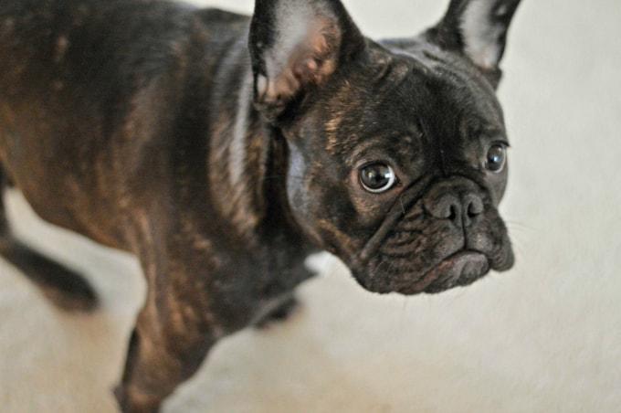 Mi bulldog francés atigrado es la razón por la que necesito saber cómo limpiar las manchas de mascotas en cualquier superficie