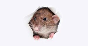 Deshacerse de los Ratones Naturalmente